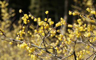 大切に育てた千本の蝋梅を1ヶ月間楽しむ